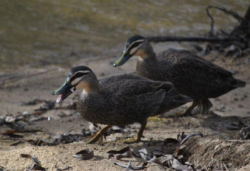 ducksDSC_4604