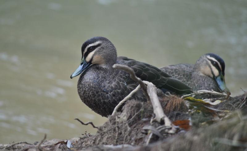 ducksDSC_4619