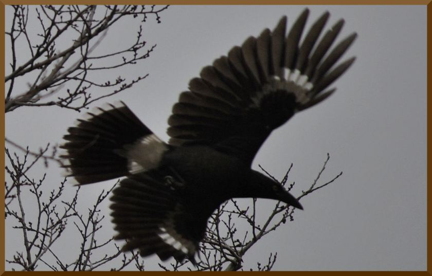 currawong3