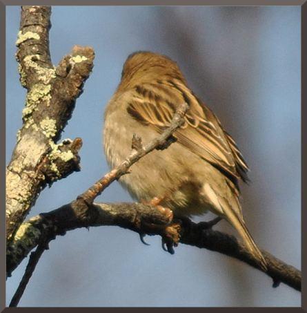 sparrowDSC_4933