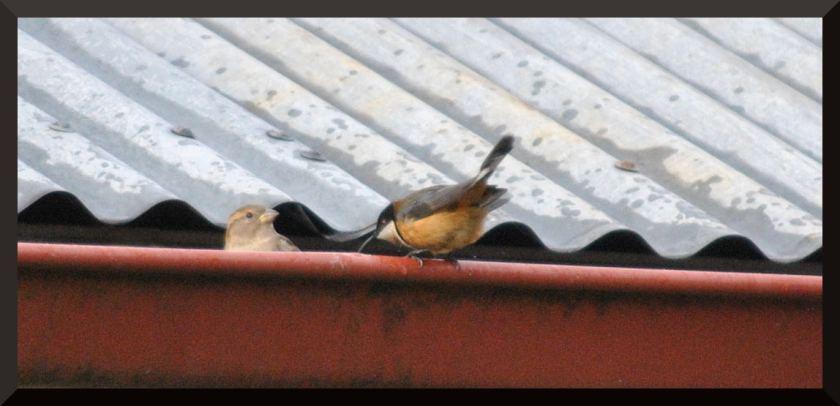 spinebill_sparrow