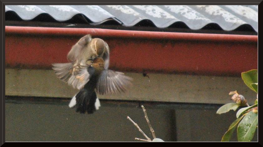 spinebill_sparrow2