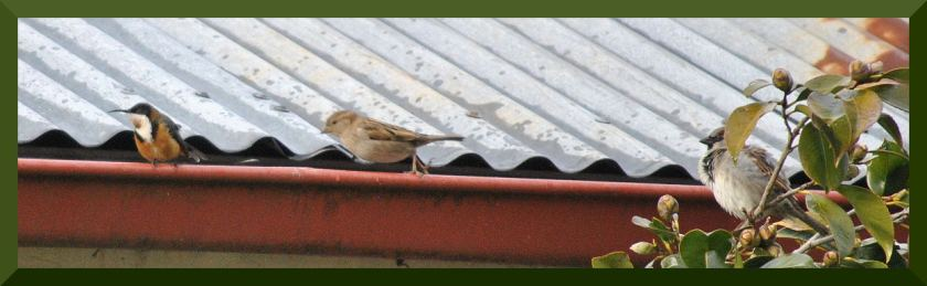 spinebill_sparrows002