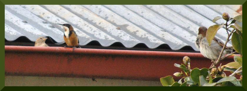 spinebill_sparrowsDSC_5003