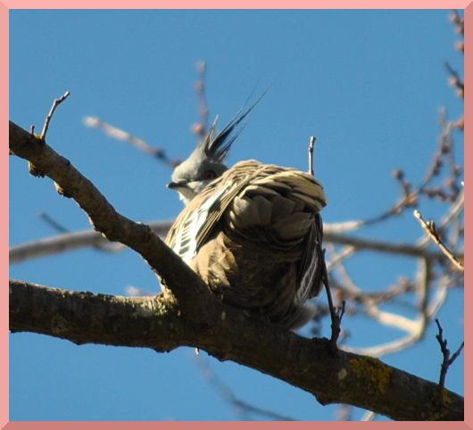 crestedpigeon