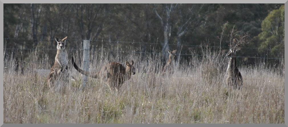 kangaroos2