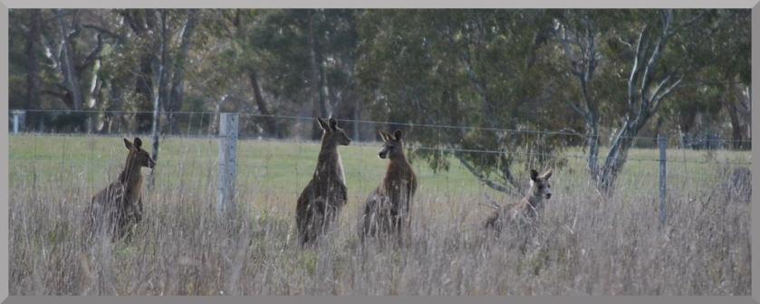 kangaroos3