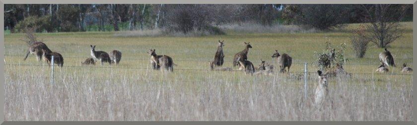 kangaroos4