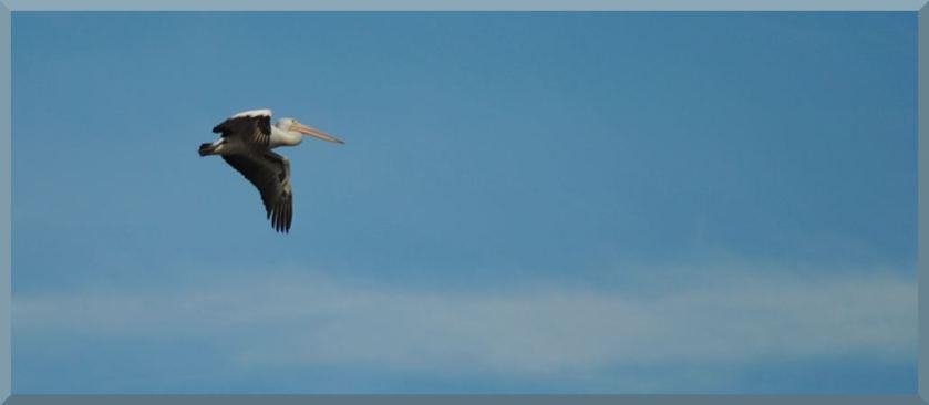 pelicanblue