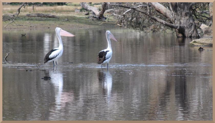 pelicanpair