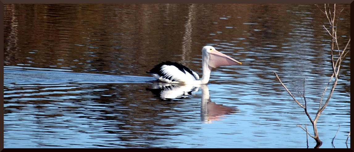 pelicanpool