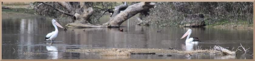 pelicanspaircreek
