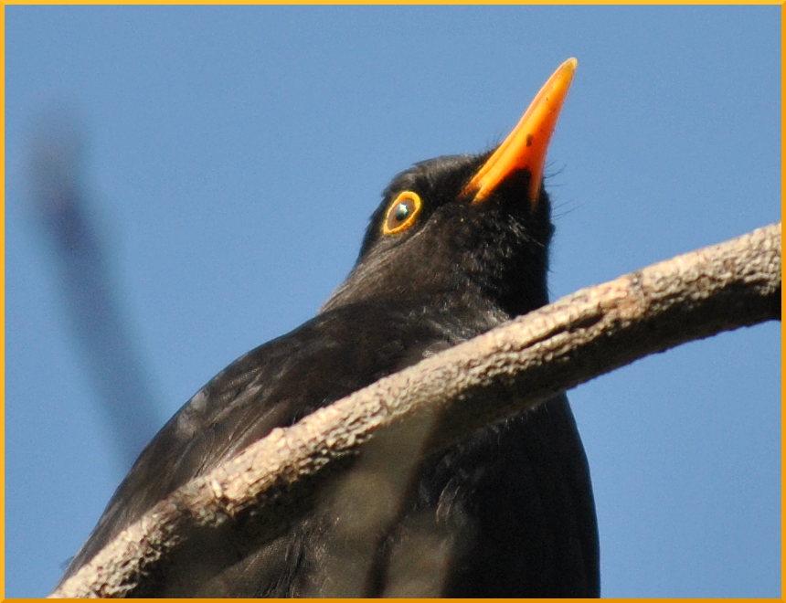 balckbird