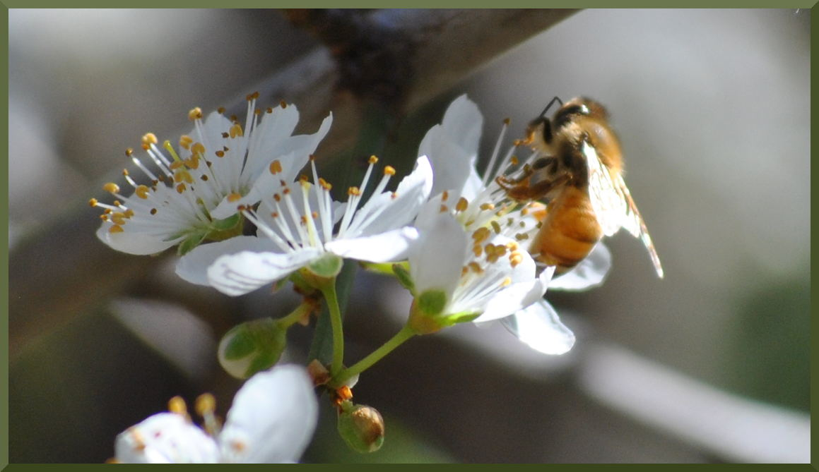 Honey Bee and Cherry Plum blossom
