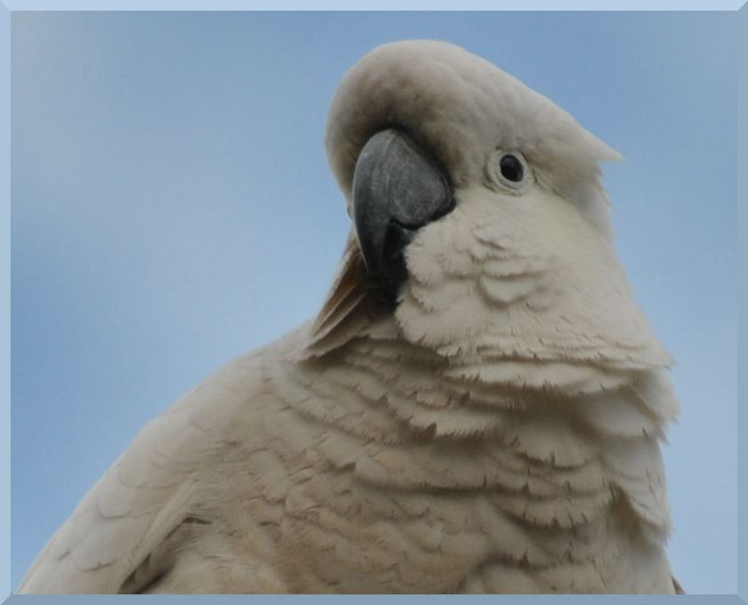 cockatoo6595
