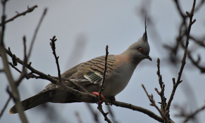 crested pigeon6481