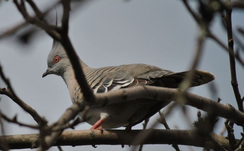 crestedpigeon6498