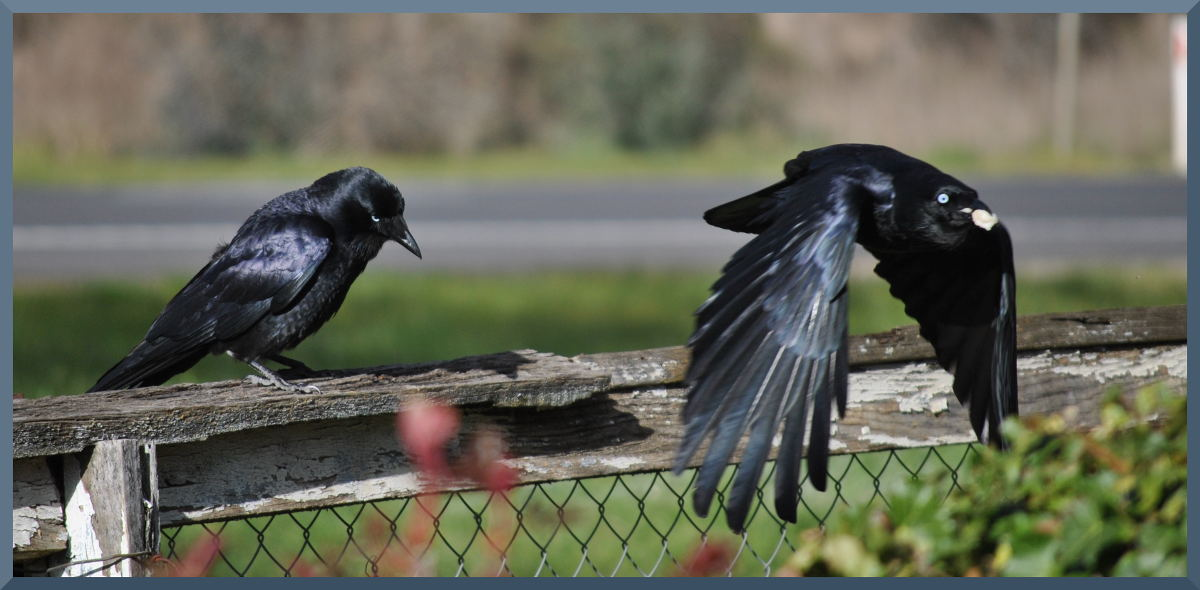 crows6441