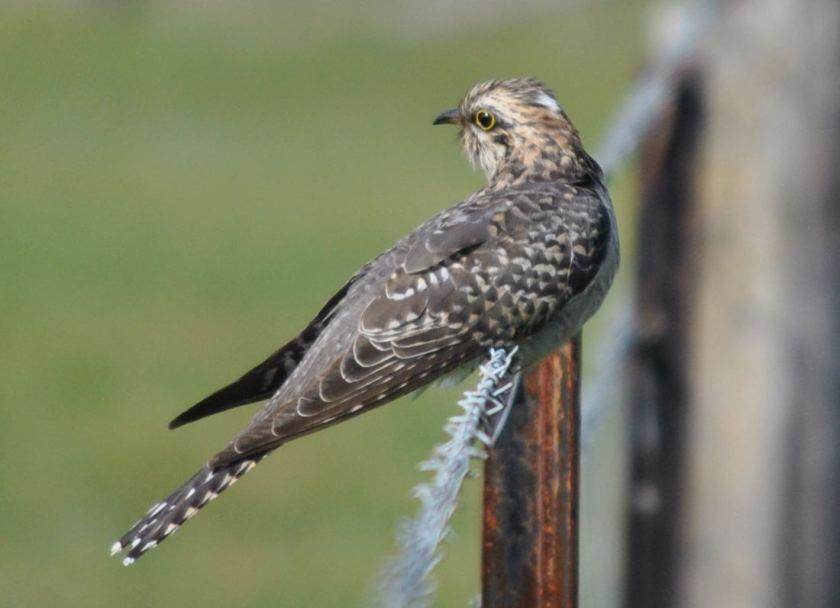cuckoo6792