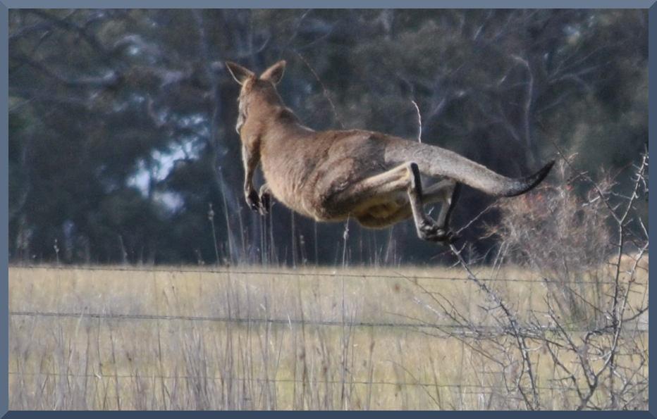 kangarooDSC_6294