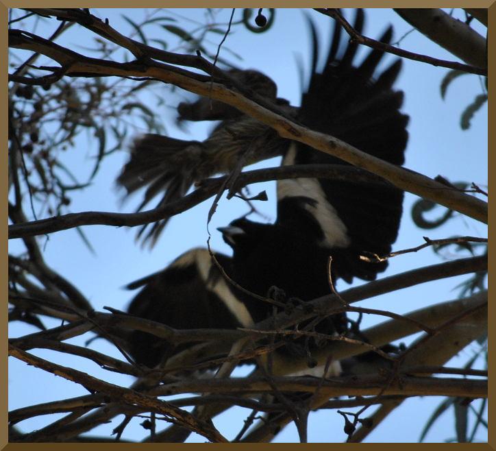 magpiewattlebird