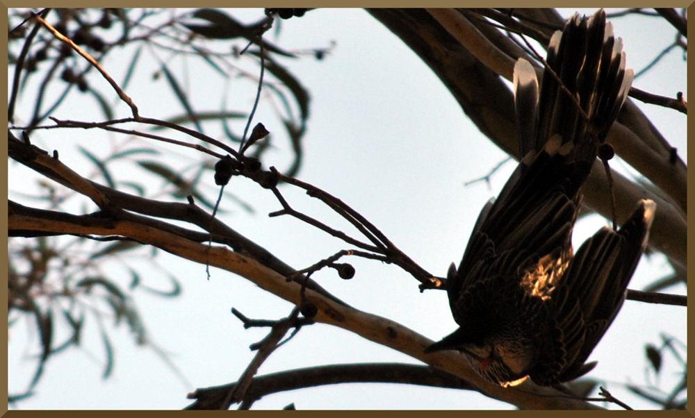 wattlebirddrop